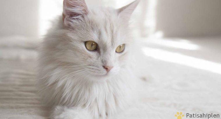 Ankara kedisi 1 yaşında