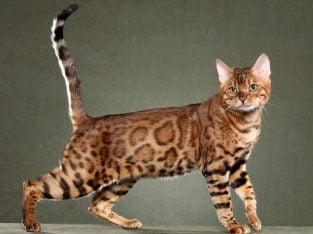 Aşıları tam bengal kedisi