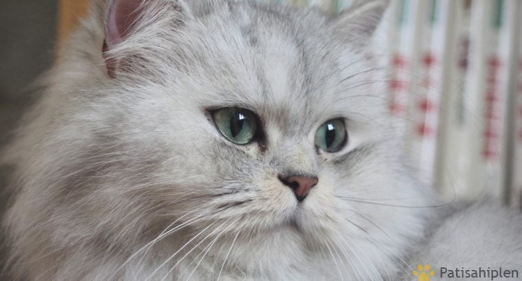 2 yaşında chinchilla kedisi