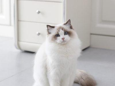 Bembeyaz radgoll kedisi