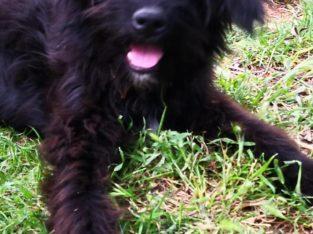 minik terrier yuva ariyor – Antalya