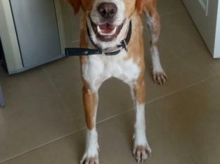 1.5 yasında av köpeği – İstanbul