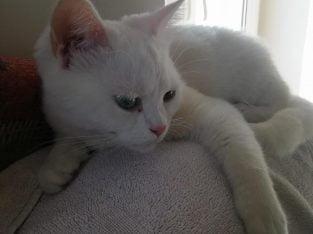 11 aylık dişi British kedimizi sahiplendirmek i
