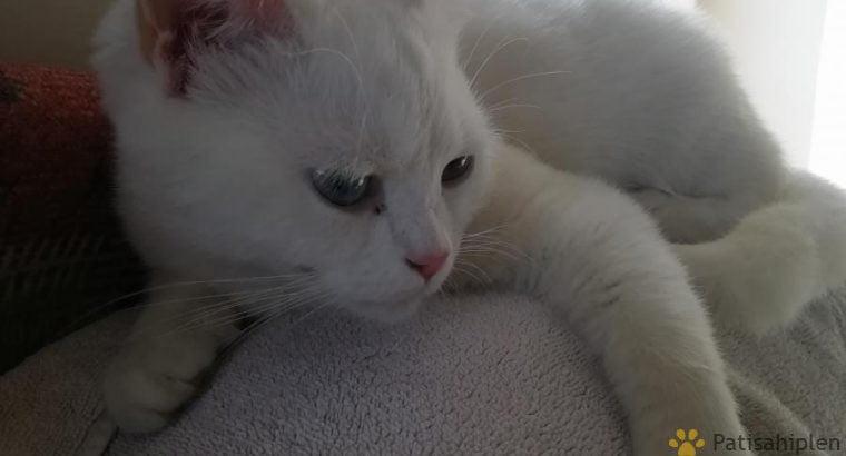2 yaşında Beyaz British Shorthair yuva arıyor – İs