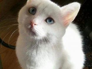 Mavi gözlü ankara kedisi – Kocaeli (İzmit)