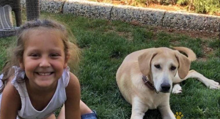 6 aylık dişi Labrador kırması – Antalya