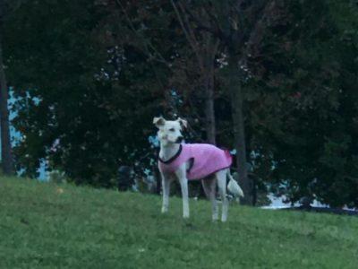 Labrador golden kırması kızımız Asi kömürlük yuva