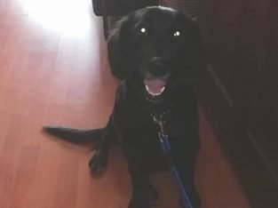7 Aylik Dişi Golden Flat Labrador – Aydın