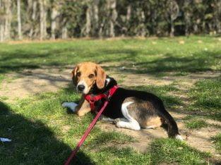 Pablo'ya Yuva Arıyoruz (1.5 Yaşında Beagle) – İsta