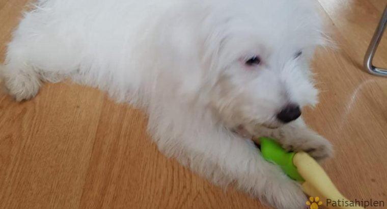 0 numara maltese terrier – Adana