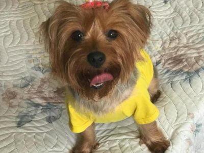 Ücretsiz yorkshire terrier takip şartıyla