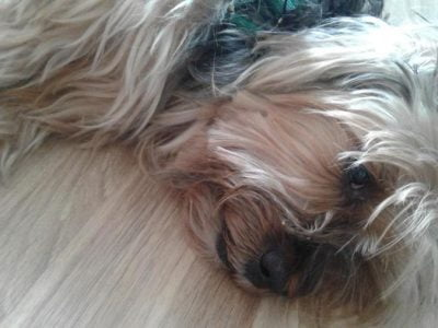 Yorkshire terrier Sinsa ucretsiz – Ankara