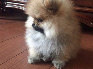 Boo surat teddybear Pomeranian