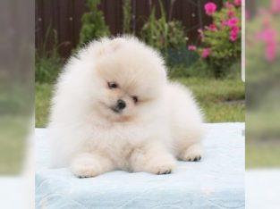 Satılık güzel Pomeranian kukla