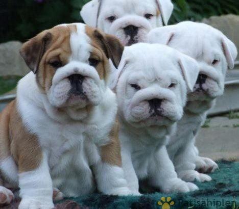İngiliz buldog sevimli yavrular