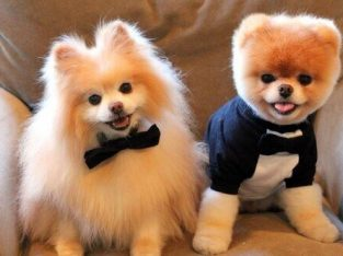 Teddyface Pomeranian boo yavruları