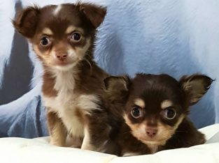 Chihuahua – şivava yavrusu