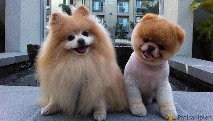 Üst Kalite Boo Pomeranian Ayı Surat