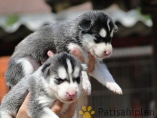 Yeni doğan pitbull yavruları rezerve edilir
