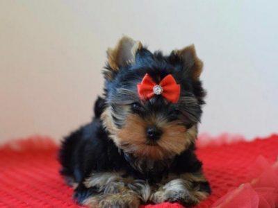 Satılık sevimli Yorkshire terrier yavruları