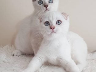 Scottish fold ve scottish strghait yavrular