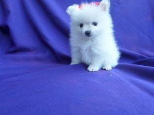 Mevcut Pomeranian Yavruları evlat edinmek için