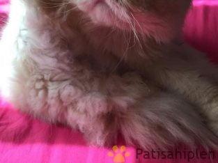 12 aylık iran kedisi