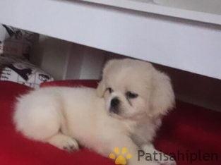 2 buçuk aylık beyaz akıllı pekinez yavru