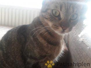 Çok sevecen ve Zeki ev kedisi