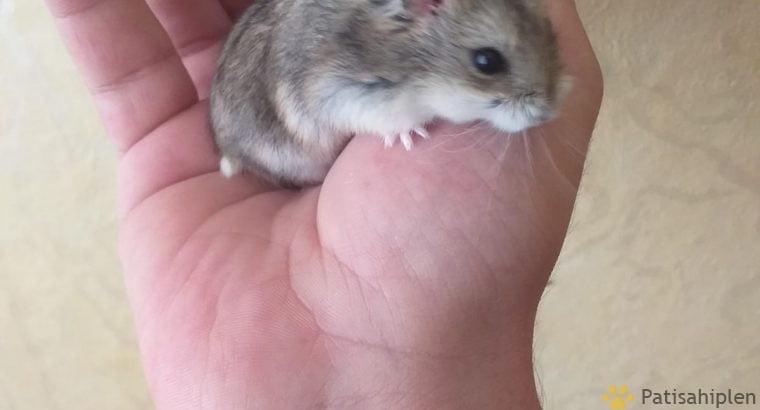 Hamster Toptan ve Tek Satis Özel Üretim