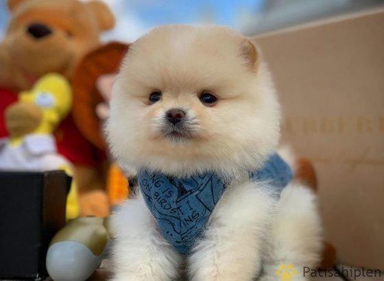 A class Pomeranian teddybear Boo