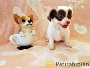 A class şecereli Erkek Chihuahua yavrusu beyaz çıkolata mask