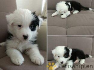 Avustralya çoban köpeği Australian Shepherd dog