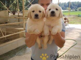 Baby Face Golden Retriever Yavrularımız