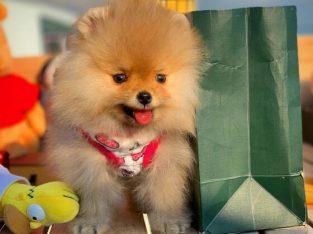 -Başlangıç Seviyesi Tuvalet Eğitimli PomeranianBoo