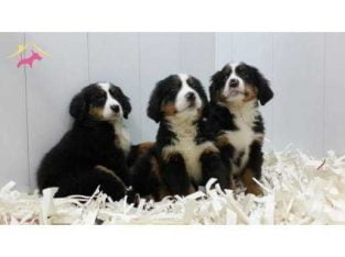 BERNESE MOUNTAIN DOG YAVRULARI #49992