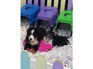 BERNESE MOUNTAIN DOG YAVRULARI #50121