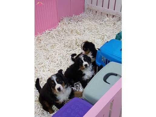 Bernese mountain dog yavruları  #91433