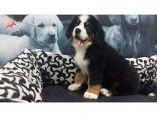 BERNESE MOUNTAIN DOG YAVRULARIMIZ #48411