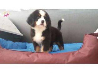 BERNESE MOUNTAIN DOG YAVRUSU #49470