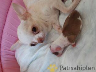 Chihuahua yavrulari