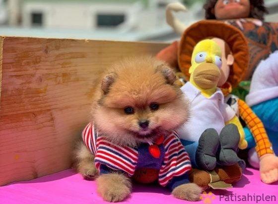 En kaliteli TEACUP teddybear face yavrumuz
