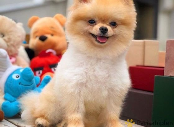 Fcı secere teddybear Pomeranian