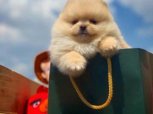 Irk ının en iyisi teddybear surat yapısı boo yavruları