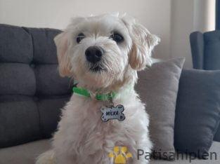Maltese Terrier wc eğitimli Görüşülür