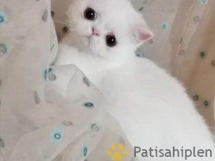 Muhtesem kar beyaz exotic shorthair