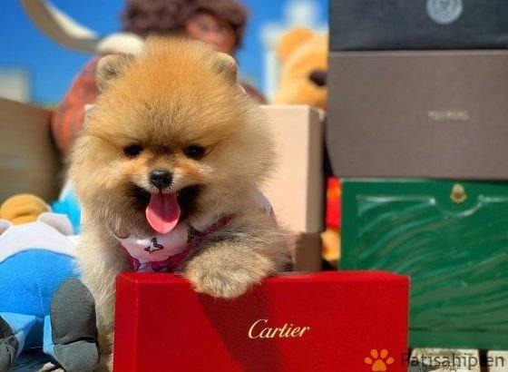 Pasaportlu aşılı wc eğitimli Boo Pomeranian