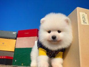 Pomeranian Boo A kalite surat yapısı