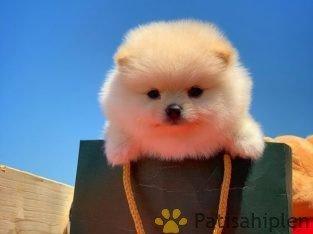 Pomeranian Boo Türkiye'nin Tek Adresi!