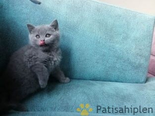 SAFKAN BRITISH SHORTHAIR